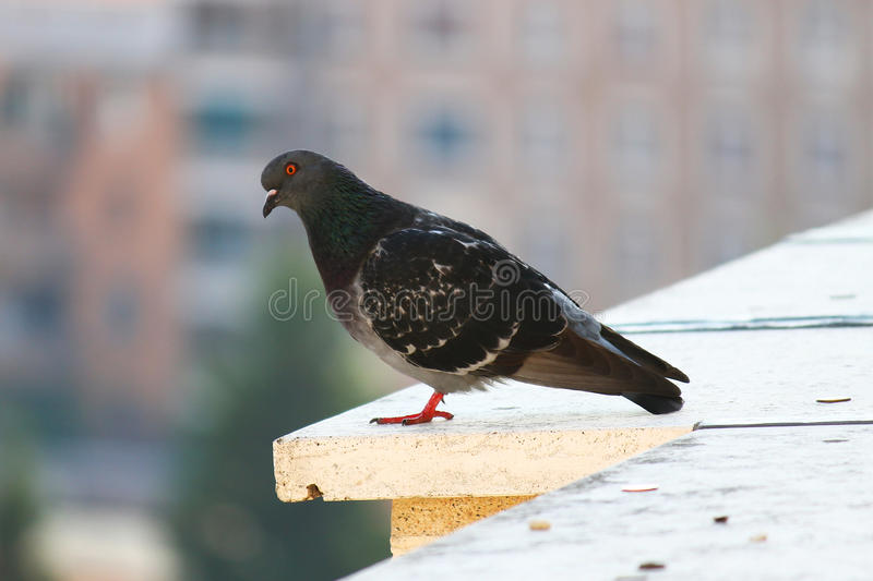 Dark pigeon standing on edge of building. Here is another dark black pigeon standing on the edge of a building in Rome, Italy. Pigeon on focus, very blurred royalty free stock image