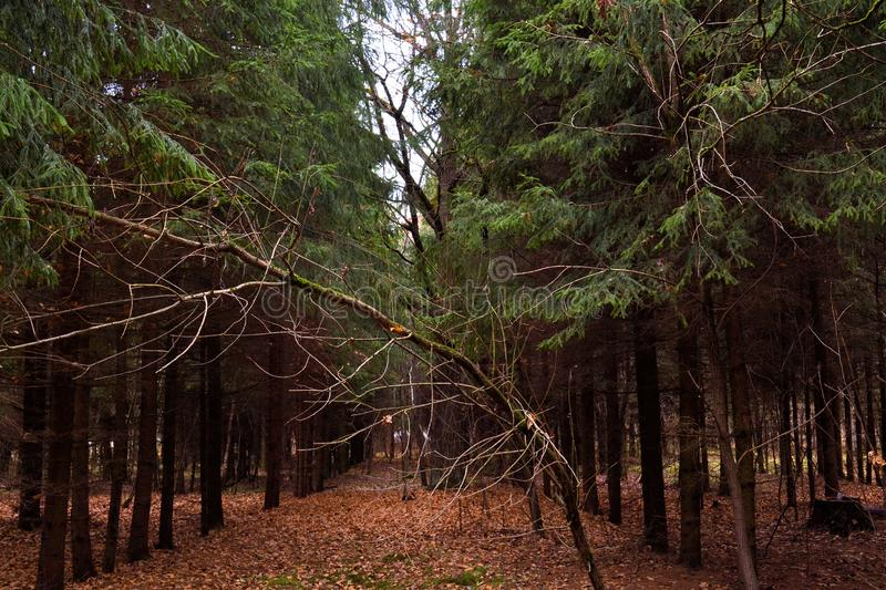 Dark pine forest in the fall. Russia royalty free stock photo