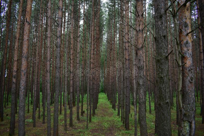 Dark pine forest, in which almost nothing grows, and the roots of the mighty trees wriggling on the ground stock image