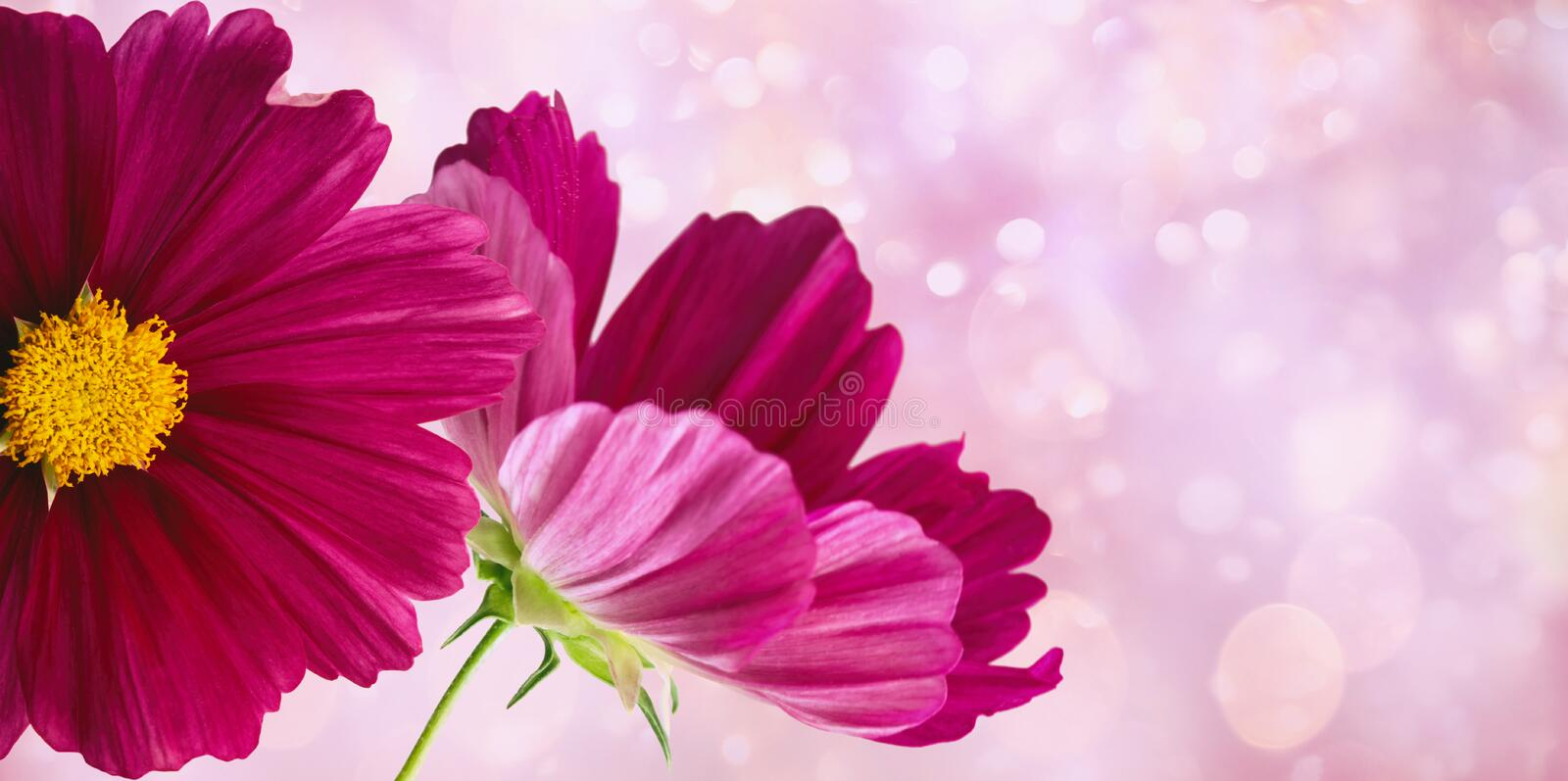 Dark pink cosmos flowers on soft pastel background royalty free stock photography