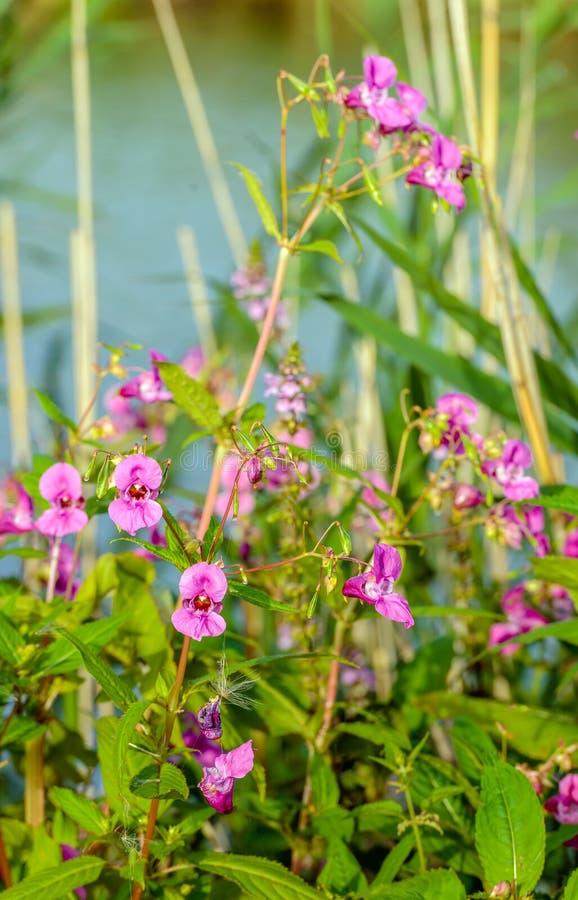 Dark pink flowering Ornamental jewelweed plant on the waterfront stock image