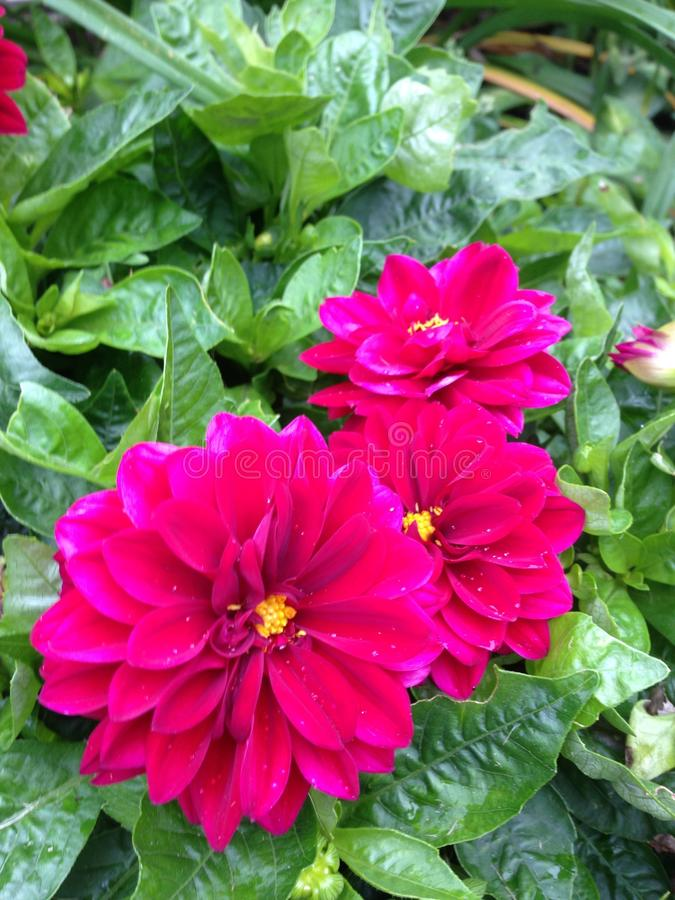 Dark pink flowers royalty free stock photography
