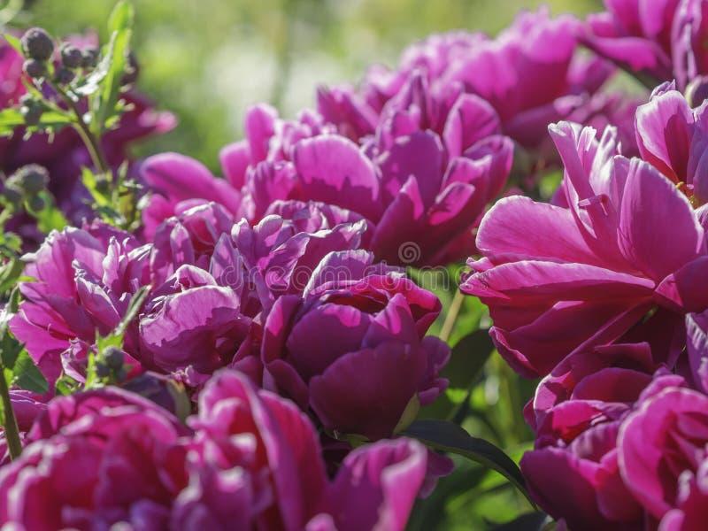 Dark pink peony flowers blooming stock photos