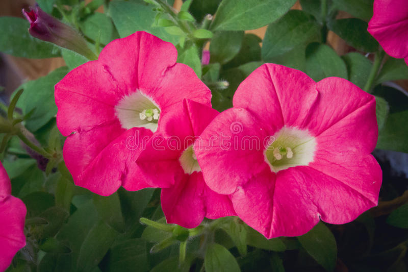 Dark pink petunia. Close-up pink petunia in bloom royalty free stock photography