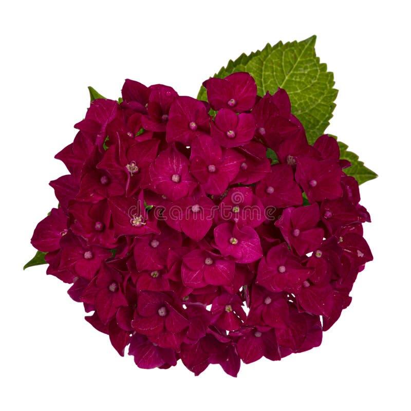 Dark pink / reddish Hortensia flower on white background stock photos