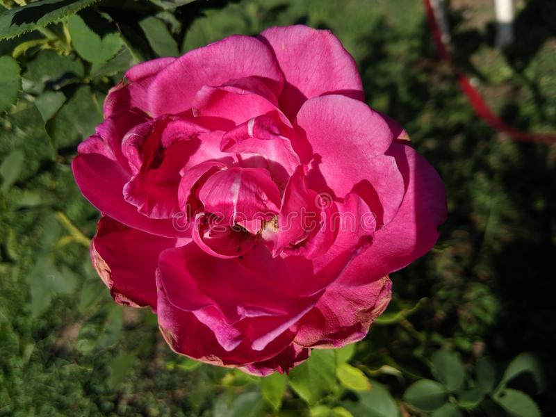 Dark Pink Rose royalty free stock photography