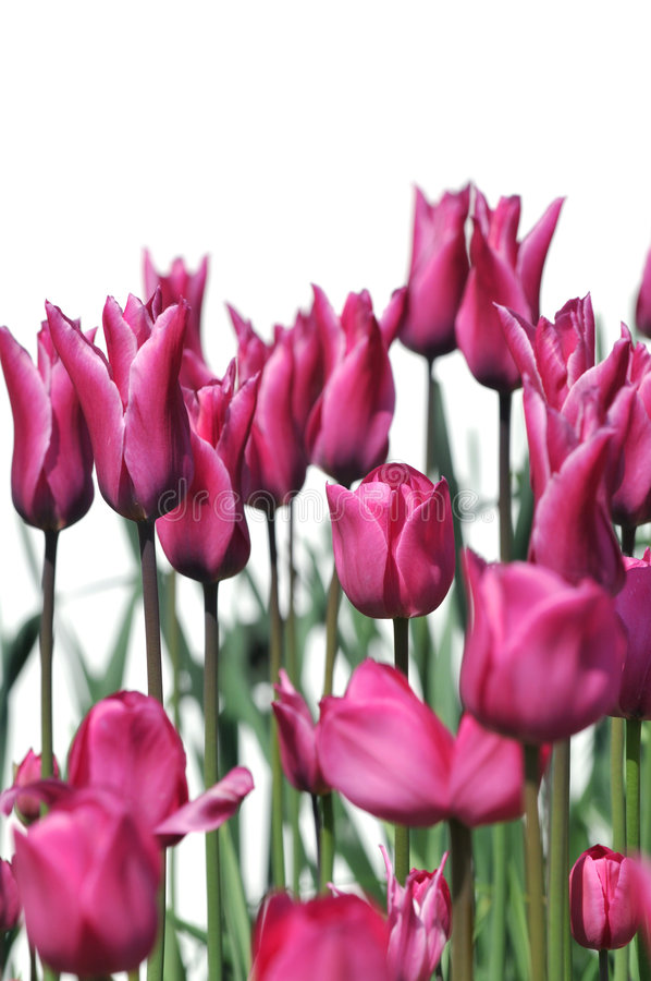 Download Dark pink tulip flowers stock photo. Image of blooms, blossoming - 5048406