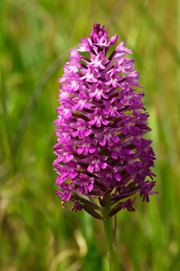 Dark pink wild Pyramidal Orchid inflorescence - Anacamptis pyramidalis royalty free stock photos