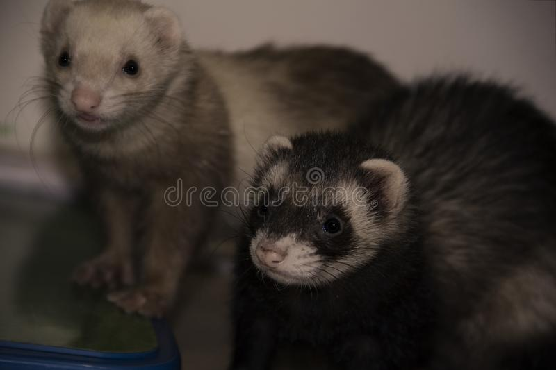 White and black ferrets stock images
