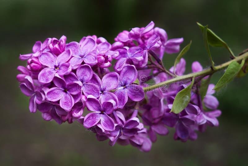 Dark purpe lilac flowers royalty free stock photos