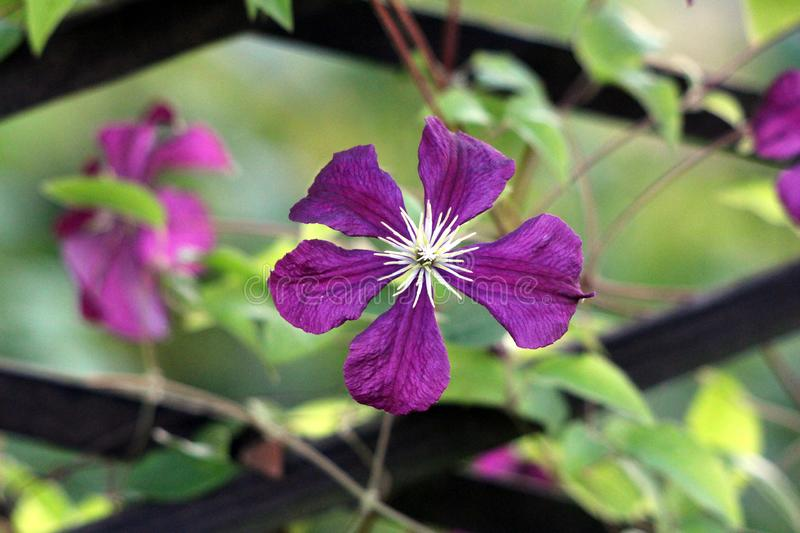Dark purple Clematis or Leather flower easy care perennial vine flower with leathery petals and bright yellow center growing in. Dark purple Clematis or Leather stock images