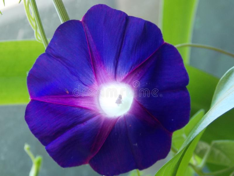 Dark purple flower with pale green leaves stock image