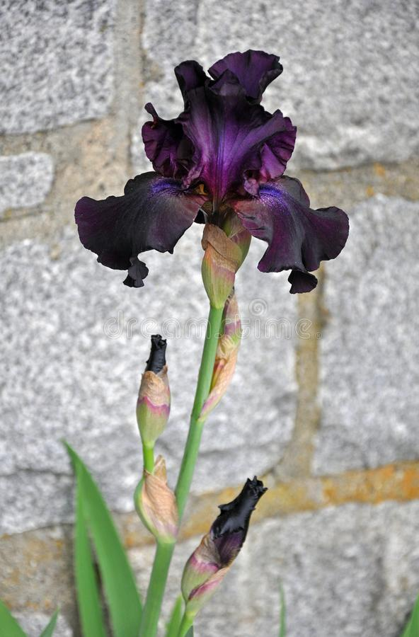 Dark purple iris flower. Beautiful dark purple iris flower in peak bloom stock image