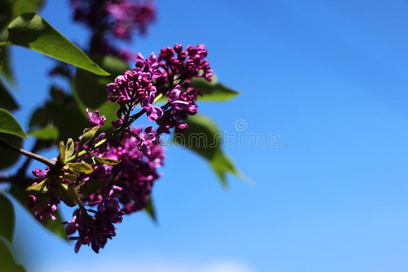 Dark purple lilac blooms in spring in clear weather, blue sky, background.  stock images