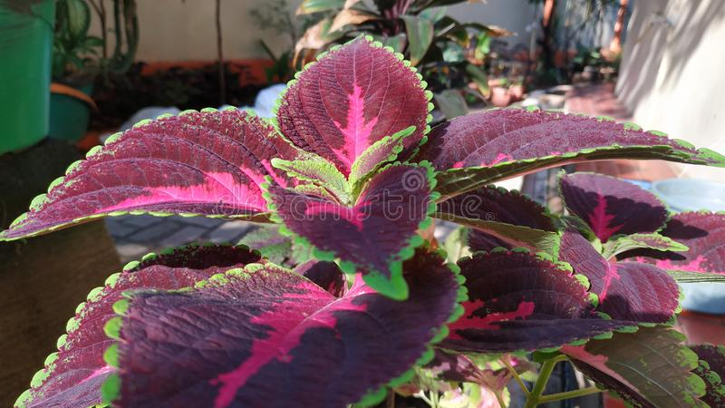 Dark Purple Tropical Leaves Background. Coleus Plant Flowering Plants Leaf with Green Leaf at Garden stock photography