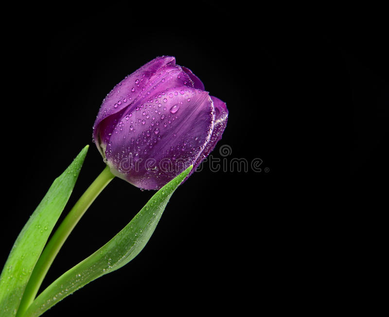Dark Purple Tulip flower with water drops on a black background. With copy space for text royalty free stock images
