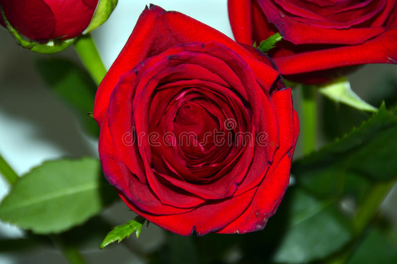 Dark red blossoming rose royalty free stock photos