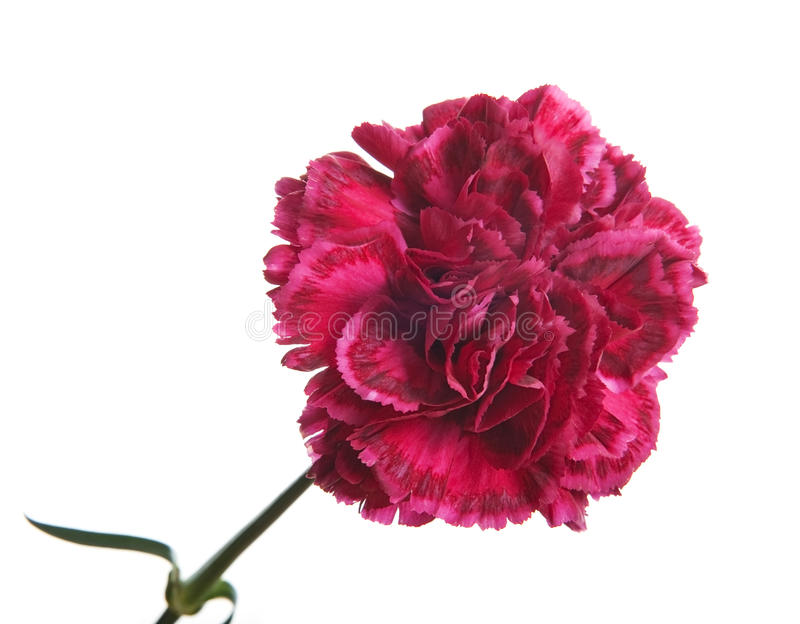 Dark red carnation. Isolated on white royalty free stock images