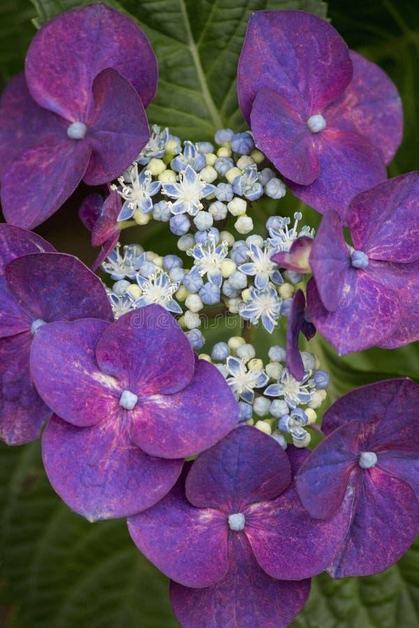 Dark red hydrangea flowers in summer royalty free stock image