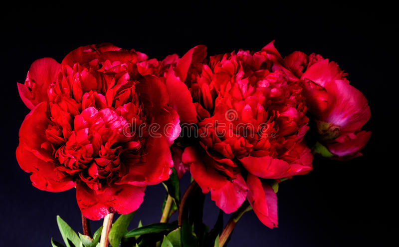 Dark red peony royalty free stock images