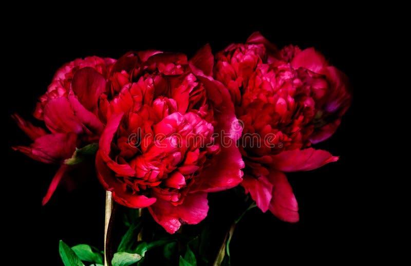 Dark red peony stock photo
