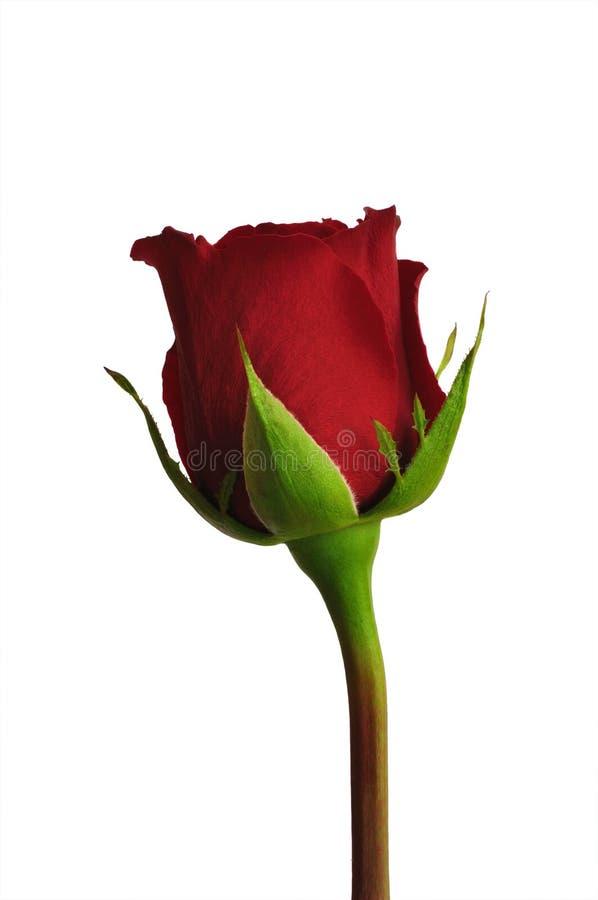 Download Dark red rose stock photo. Image of dark, occasion, texture - 23562906