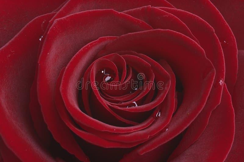 Dark Red Rose Stock Photography
