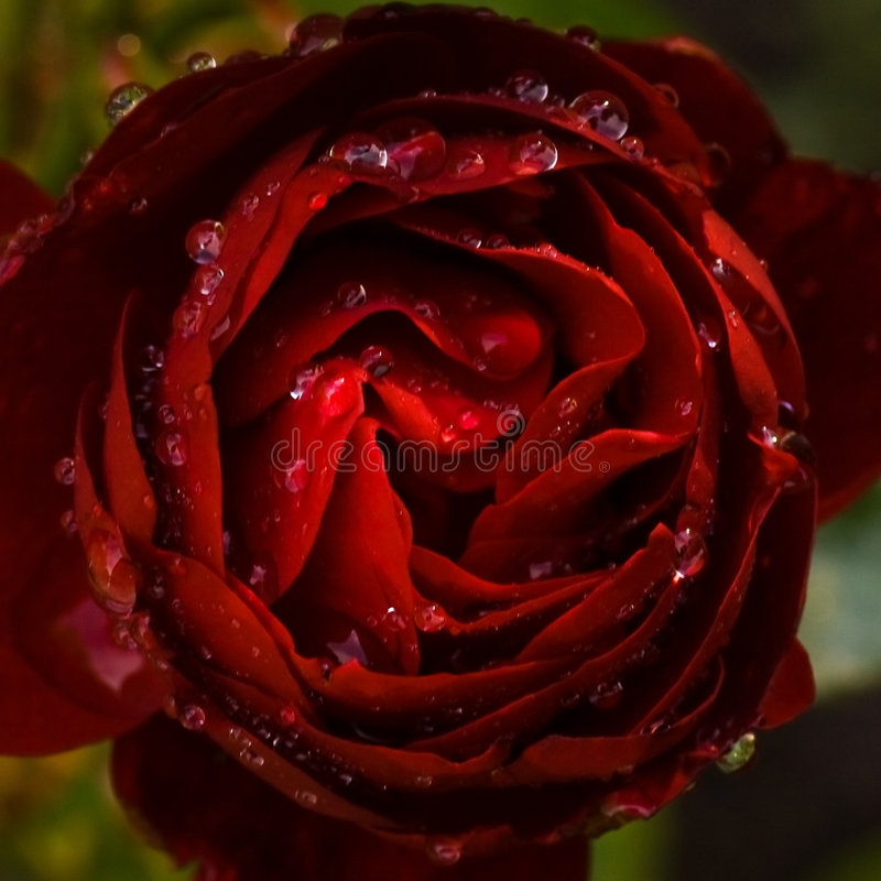 Dark red rose. With drops of rain royalty free stock photo