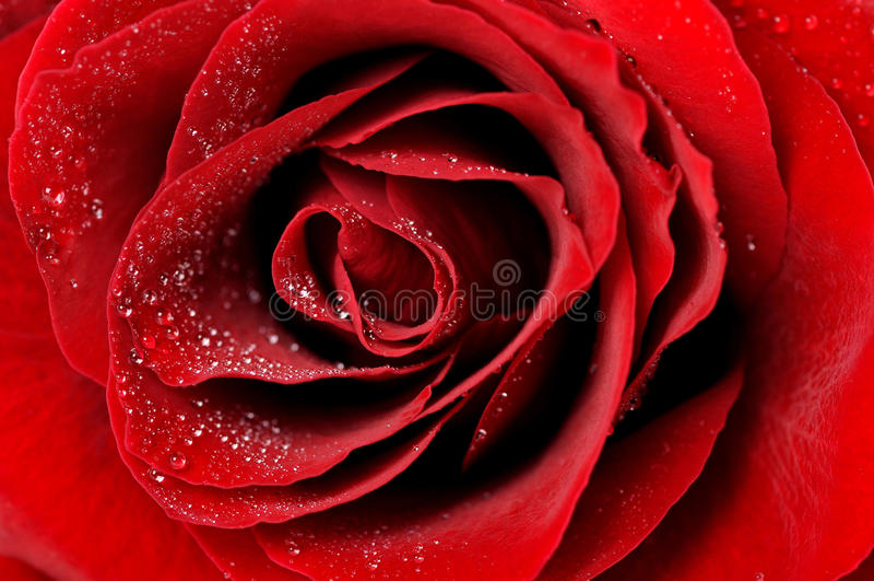Dark red rose with dew drops closeup. Dark red rose with dew drops very closeup stock photos