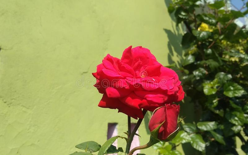 Dark Red rose flower with bud stock photos