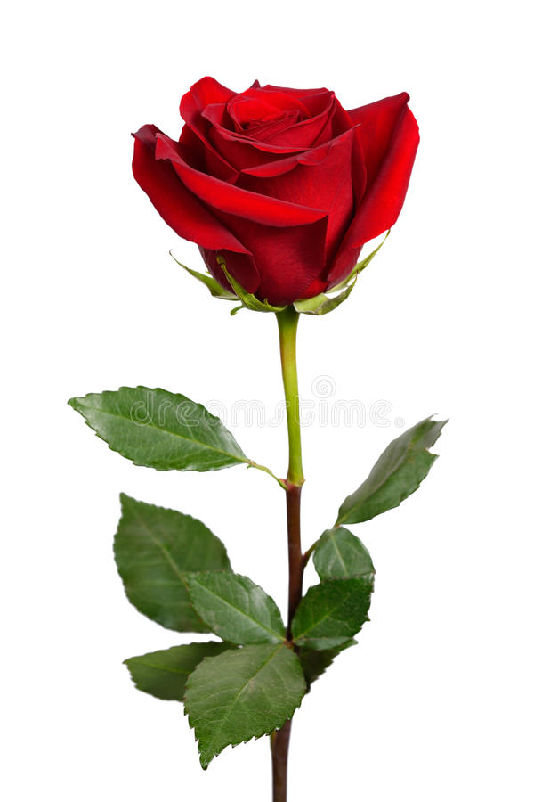 Dark red rose stock images