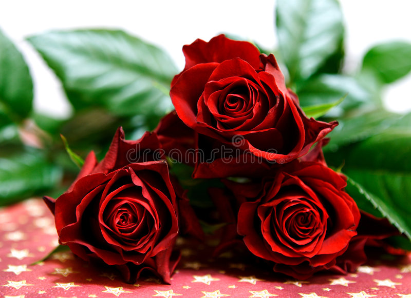 Dark red roses royalty free stock photography