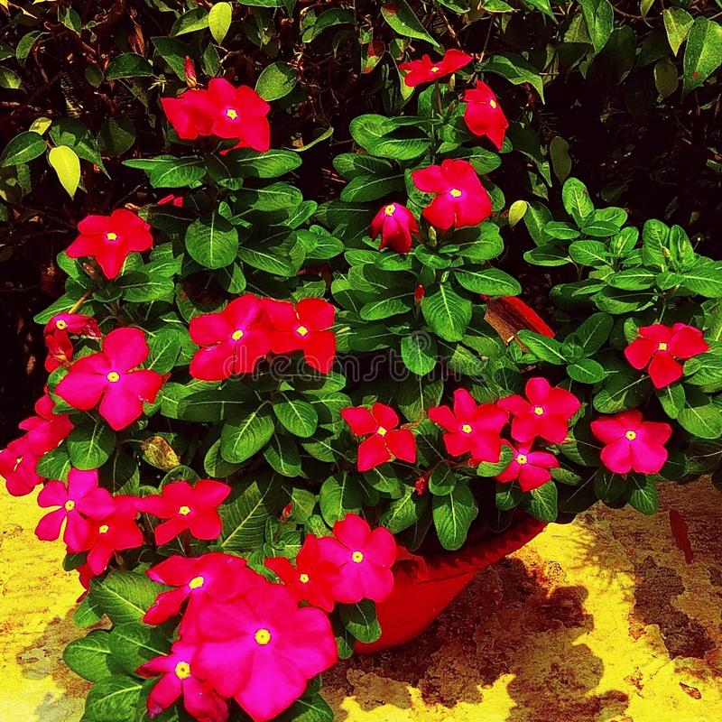 Dark red Sadabahaar flower plant surrounded by dark green leaves royalty free stock photography