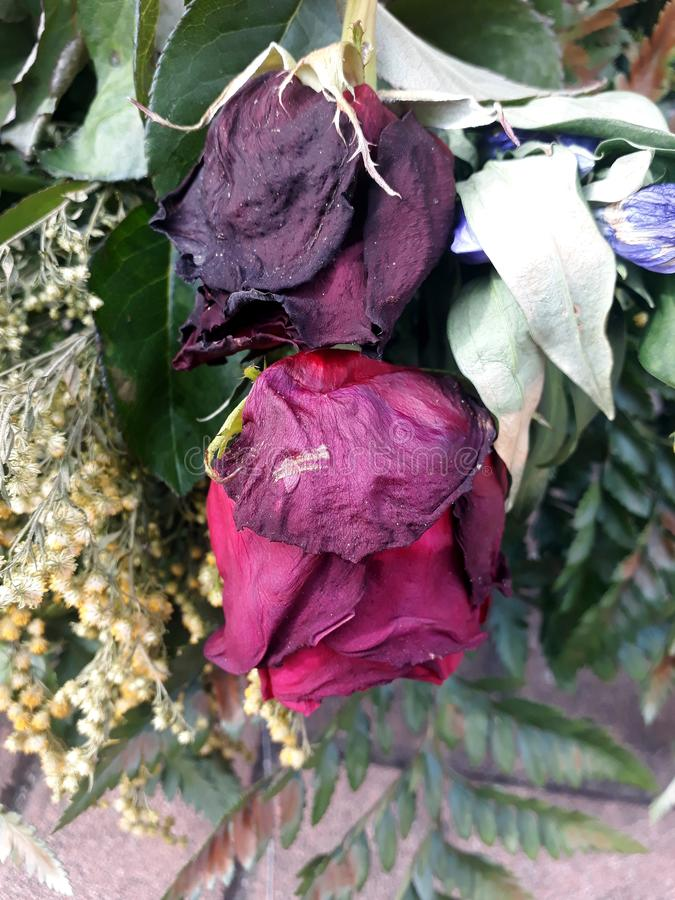Dark roses grown in a garden stock images