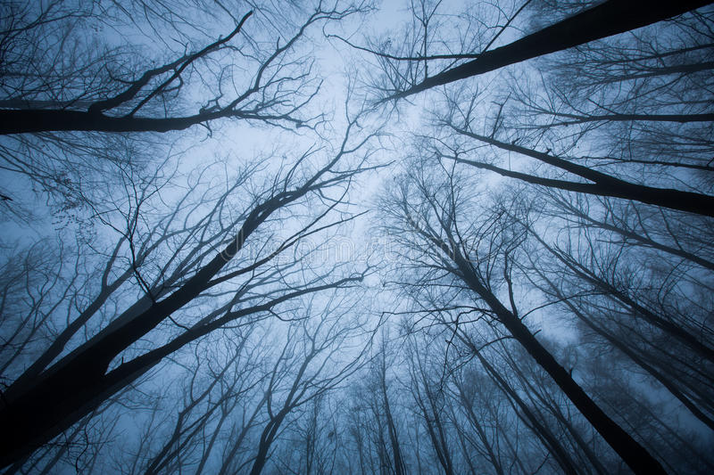 Dark scene with tree tops ending. Upwards view of blue foggy tree tops royalty free stock images