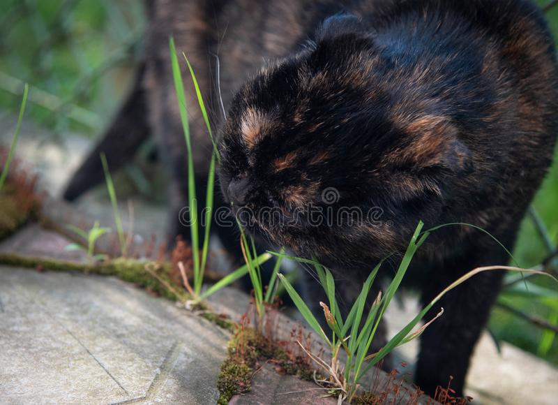 Dark Scottish fold cat eats grass in garden. Grass for a healthy cat digestive system royalty free stock images