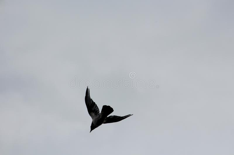 Dark silhouette of large bird in down flight with spread wings on dark grey stormy sky in back royalty free stock photos
