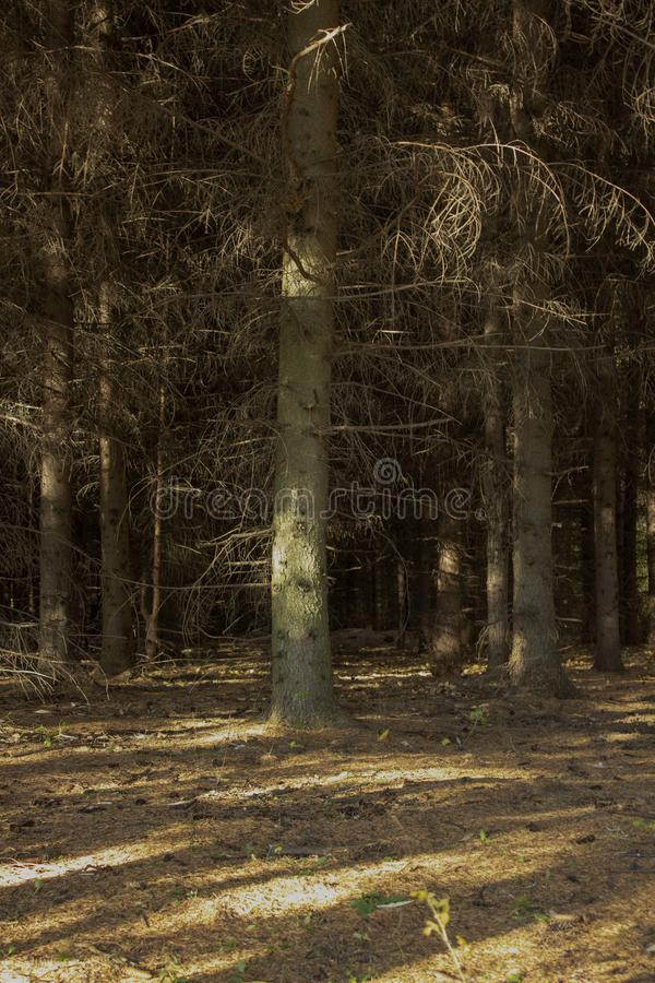 Dark spruce forest. Autumn forest, warm autumn and pine trees.  stock images