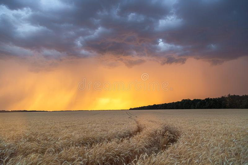 Dark thunderclouds over a wheat field at sunset. The beginning of a hurricane in the state of Texas royalty free stock photos