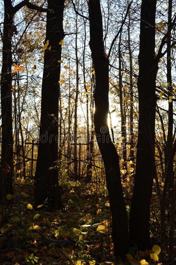 Dark tree trunks on sunset. Contrast light in autumn forest royalty free stock photography