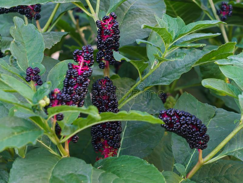 Dark violet, shiny American Fitolaki berries in the midst of green leaves.  royalty free stock photo