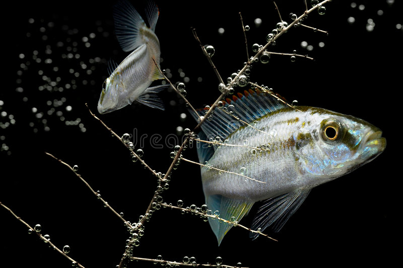 Dark Water. Tropical fish with air bubbles