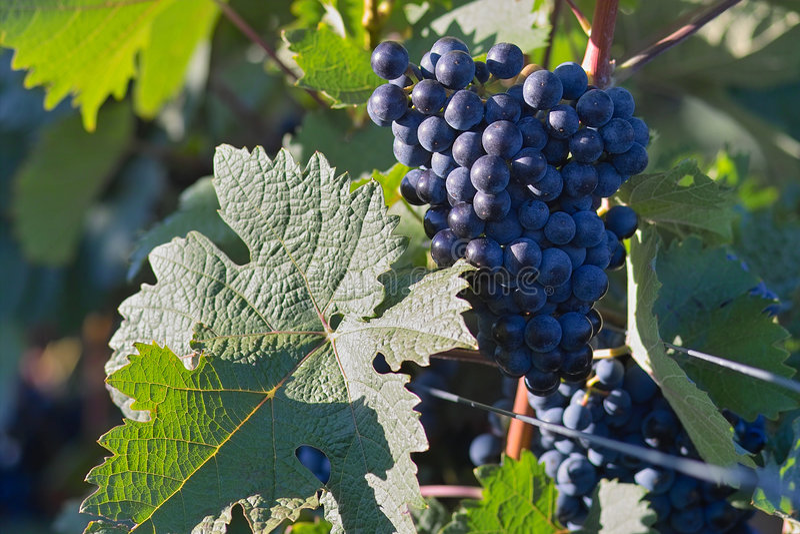 Dark Wine Grapes Stock Images