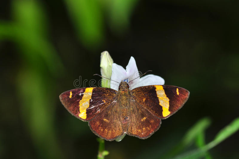 Dark Yellow-banded Flat butterfly stock photos
