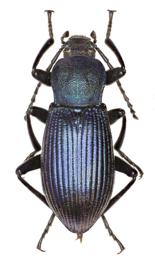Darkling жук Helops на белой предпосылке стоковое изображение