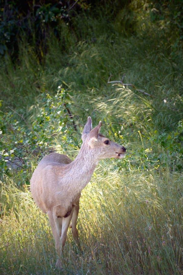 Darling Deer arkivbild