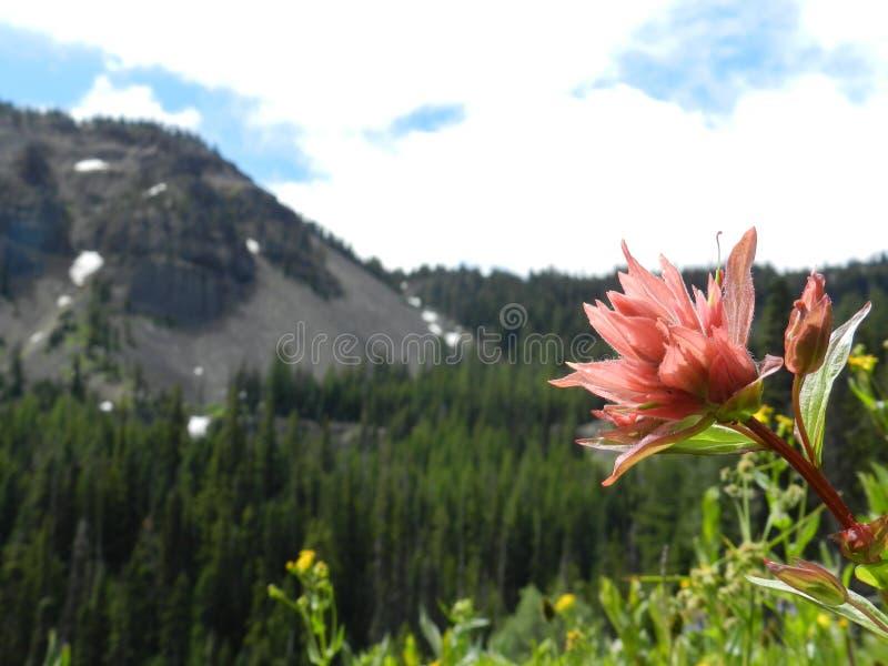 Darling Mountain Indian Paintbrush fotografia de stock
