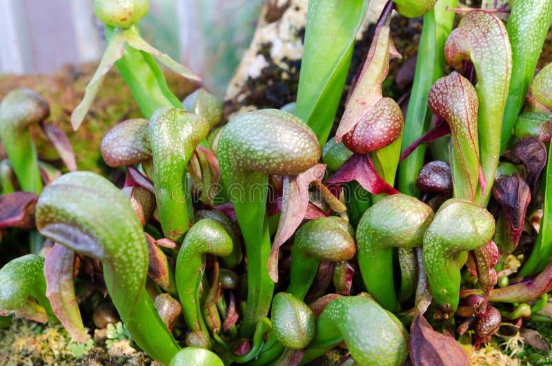 Darlington California uma planta carnívora que come o inseto imagens de stock royalty free