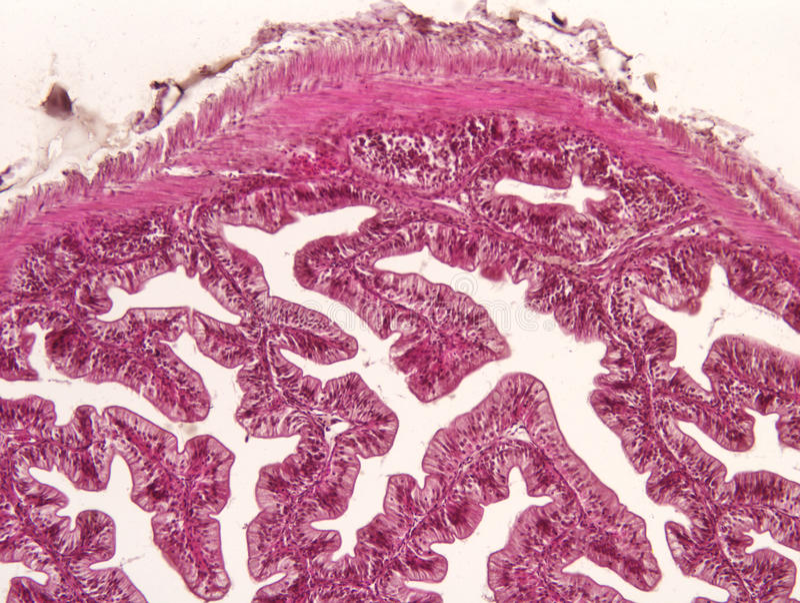 Darm dierlijk weefsel stock foto