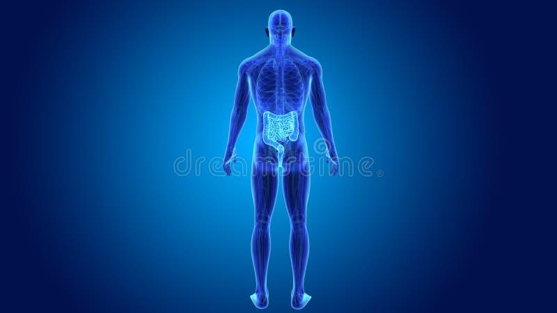 Darm mit Anatomie stock video. Illustration von ileum - 90648049